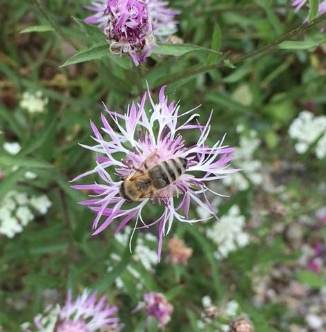 bij paarse bloem_gespiegeld